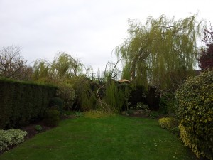 Willow, Wind Damage - Before