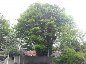 Sycamore Fell - Before