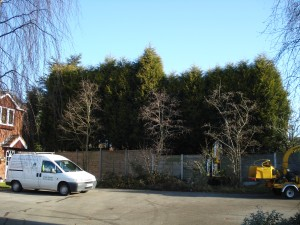 Conifer Hedge Reduction - Before